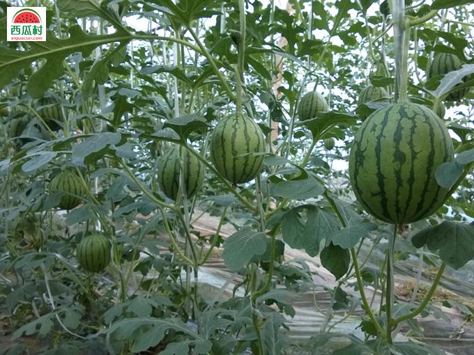 吊绳种植西瓜更好的保证西瓜的美观以及品质