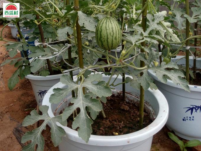 大兴西瓜盆栽